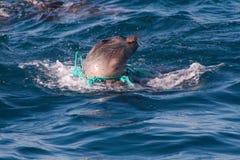 Cría de foca que estrangula en cuerda desechada Fotografía de archivo