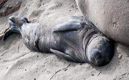 Cría de foca septentrional de elefante foto de archivo libre de regalías