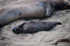 Cría de foca septentrional de elefante imagen de archivo