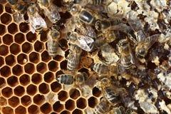 Cría de la abeja en granja Imagen de archivo