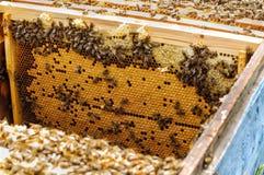 Cría de la abeja en la colmena Imágenes de archivo libres de regalías