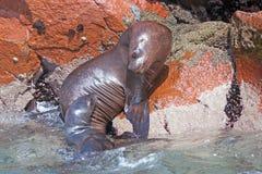 Cría de la madre y de foca Foto de archivo
