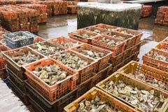 Cría de la ostra en el lugar holandés Yerseke fotografía de archivo