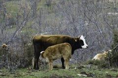 Cría de la vaca y del becerro de Brown en una pradera Fotos de archivo