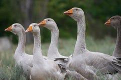 Cría de los gansos Imagenes de archivo
