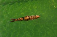 Cría de los pescados en acuario Fotos de archivo