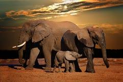 Cría del elefante africano del bebé (africana del Loxodonta) con sus padres en última hora de la tarde, Addo Elephant National Pa foto de archivo