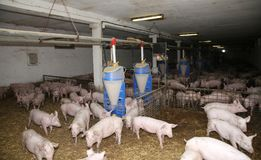 Cría del ganado Grupo de cochinillos recién nacidos en corral Imagen de archivo