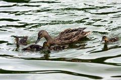Cría del pato Fotos de archivo libres de regalías