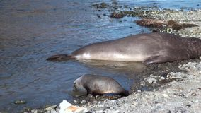 Crías de foca con el padre en la costa costa de Falkland Islands almacen de video