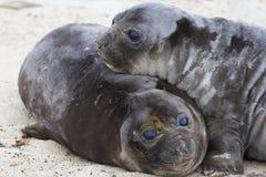 Crías de foca de elefante - Falkland Islands Foto de archivo