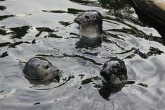 Crías de foca en el juego fotos de archivo