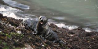 Crías de foca en la nueva playa de los zealands Imagen de archivo libre de regalías