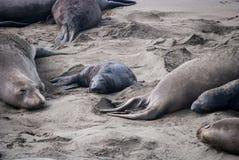 Crías de foca septentrionales de elefante imagen de archivo