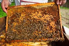 Crías de las abejas Foto de archivo