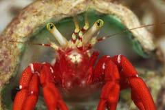 crab затворница Стоковые Изображения RF