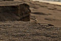 Crab около берега на пляже Cabo Ledo anisette вышесказанного стоковая фотография rf