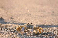 Crab. A ghost crab on a beach glowing in the early morning sunlight Royalty Free Stock Photo