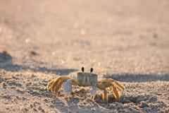 Crab Royalty Free Stock Photo