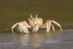 Crab. Close-up image of a crab on the sea shore Royalty Free Stock Photos