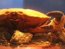 Crab. A large crab in an aquarium stock photos