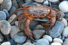 Crab. Amusing crab against  sea pebble Royalty Free Stock Images