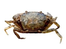Crab. Close up on a white background Stock Photos