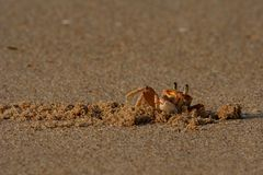 Crab. Alert sand crab on beach, southern Africa royalty free stock photos