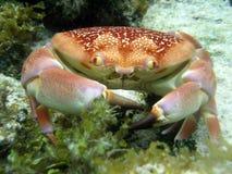 Crab Stock Image