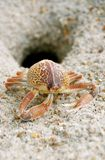 Crab. A close-up image of a crab's exoskeleton outside a crab burrow on the beach Royalty Free Stock Photography