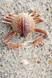 Crab. A close-up image of a crab's exoskeleton  on the beach Royalty Free Stock Photo