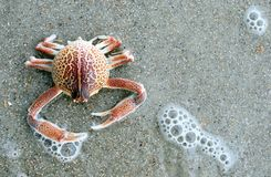Crab. A close-up image of a crab's exoskeleton on the beach Royalty Free Stock Images