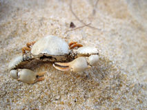 Crab. Small crab carcass with sharp pincers on fine sands in Lanjut Beach, Malaysia Royalty Free Stock Images