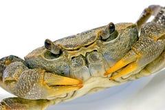 Crab. Portrait shot of a crab in studio Stock Images