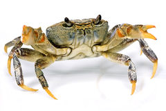 Crab. Portrait shot of a crab in studio Royalty Free Stock Photos