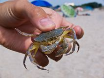 Crab. A small crab in hand stock images