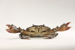 Crab. Isolated on grey background Royalty Free Stock Photo