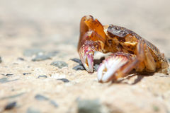 Crab. Blue and orange male fiddler crab posturing on a muddy mangrove swamp beach Stock Photo