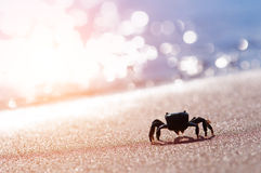 Crab. Black crab on sand closeup stock image