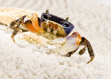 Crab. A crab is a sea animal with a flat body covered by a shell and five pairs of curved legs. The front two legs have long claws, called pincers, on them Royalty Free Stock Photography
