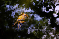 Crab. In to the water Royalty Free Stock Image