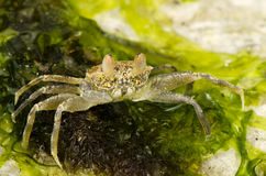 Crab. On the seaweed during the low tide at the Indian Ocean Royalty Free Stock Images