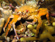 Crab. Orange Crab on Reef, Malapascua, Philippines Royalty Free Stock Image
