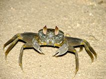 Crab. At night, hundreds of crabs taken from their burrows and hurry in search of food. They are fast and agile, that keep up with them can be very difficult Stock Image