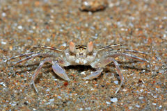 The crab Stock Image