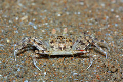The crab Royalty Free Stock Photography