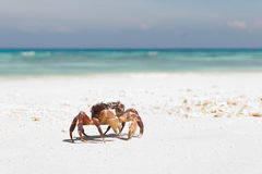 Crab. Chicken crab on the tropical beach. Tachai island, Indian ocean Royalty Free Stock Image