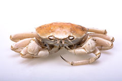 Crab. The swimming crab on white background Royalty Free Stock Images