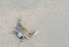Crab. A crusty crab at the beach Royalty Free Stock Photography