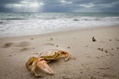 Free Crab Stock Images - 28933104